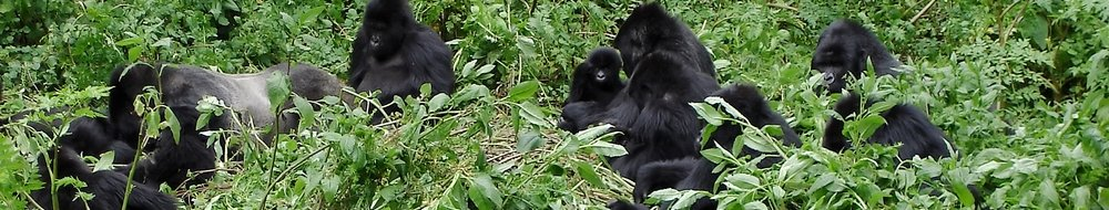 Mountain Gorillas foraging