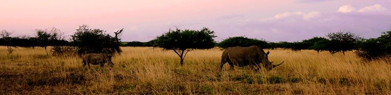 Rhino and calf trailing at sunset