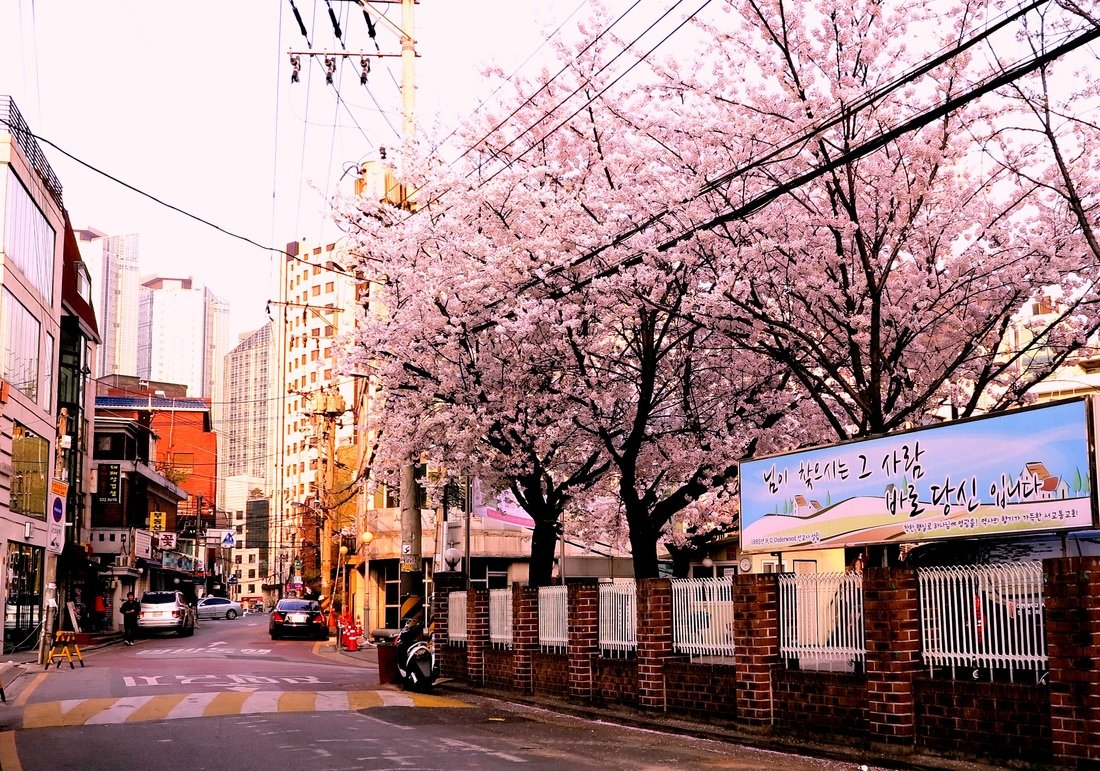 Cherry blossoms on the streets of Seoul