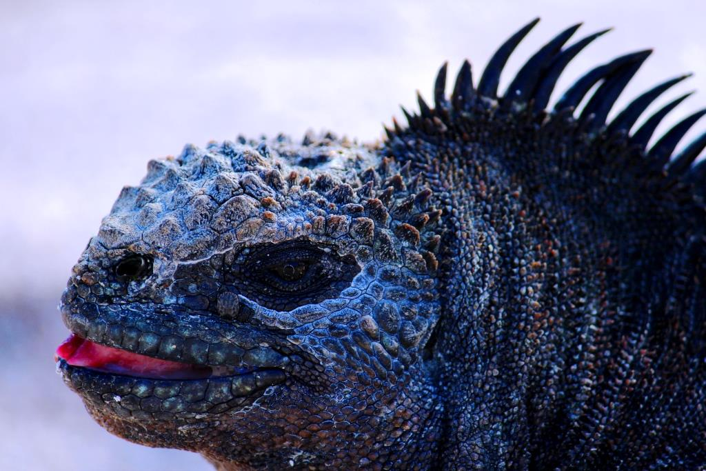 Hello first marine iguana