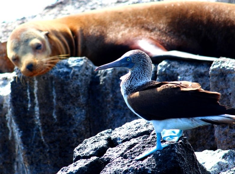 Boobies and sea lions hanging out together
