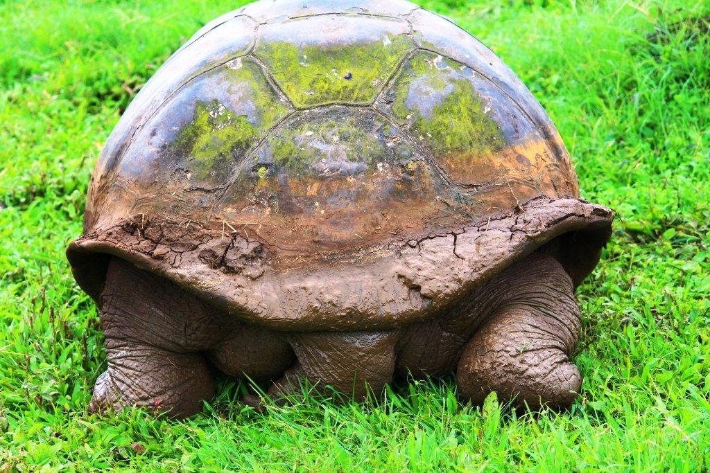 Giant tortoise bum