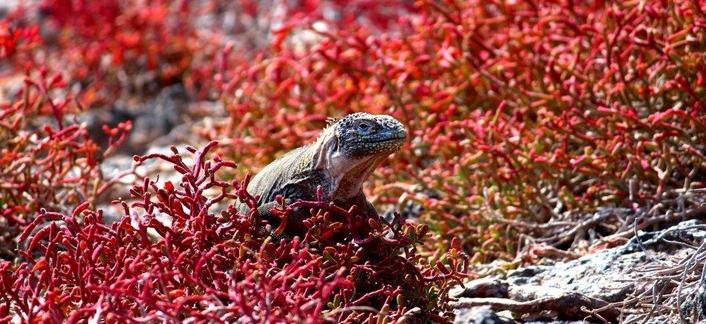 Land iguana on the move