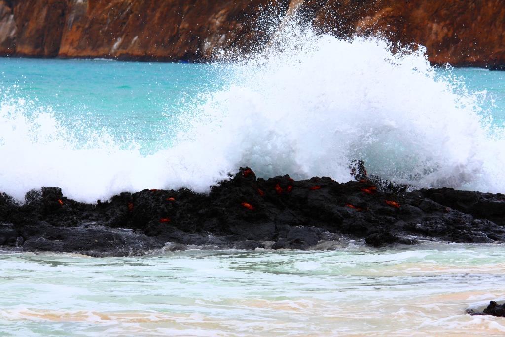 Sally Lightfoot Crabs battling the rough waves