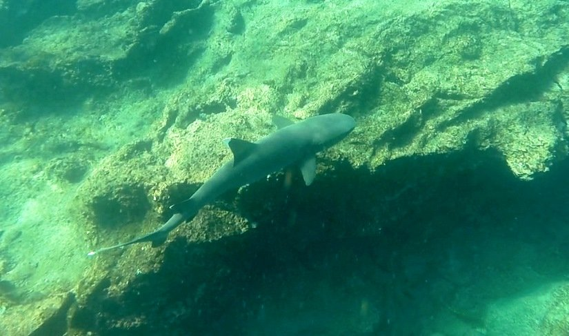 A white tipped reef shark