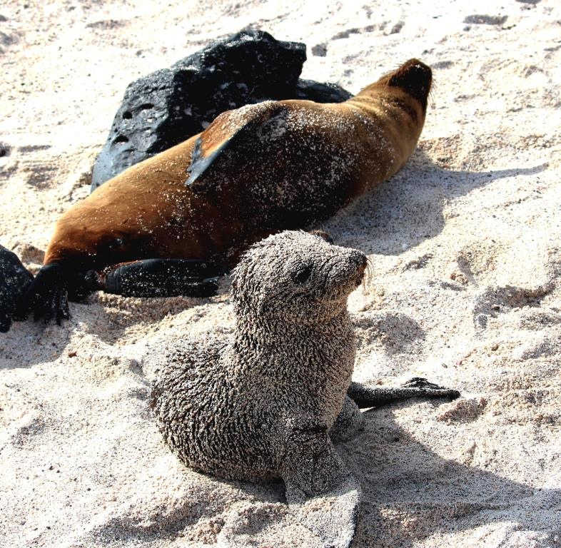 'Breaded' baby sea lion and mum close by