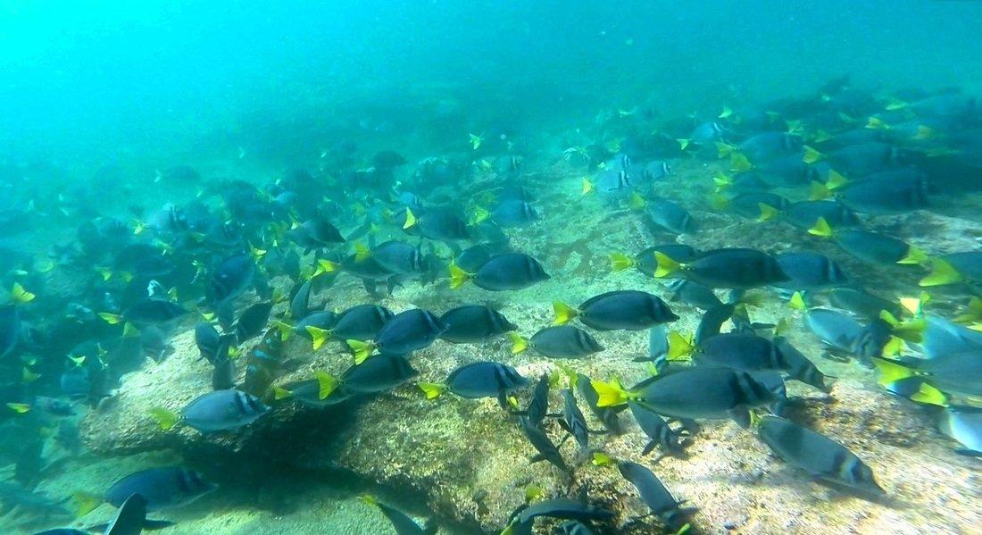 Yellow Tailed Surgeon fish