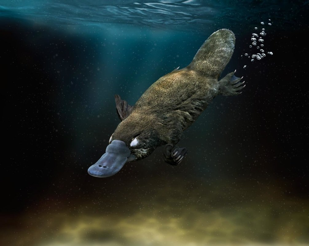 Swim with Platypus