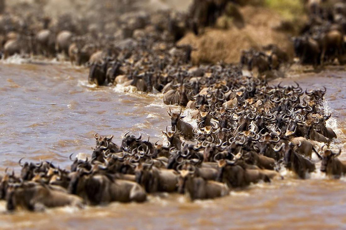 River crossing of the Great Migration