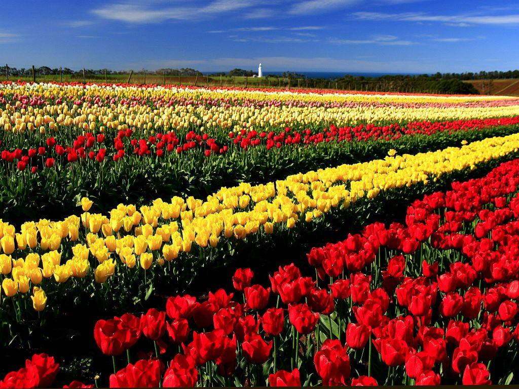 Bloomin Tulip Festival