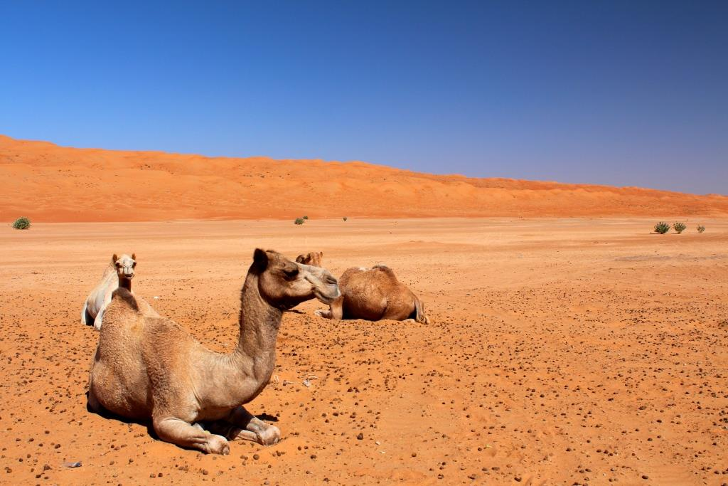 Camels Wahiba Sands