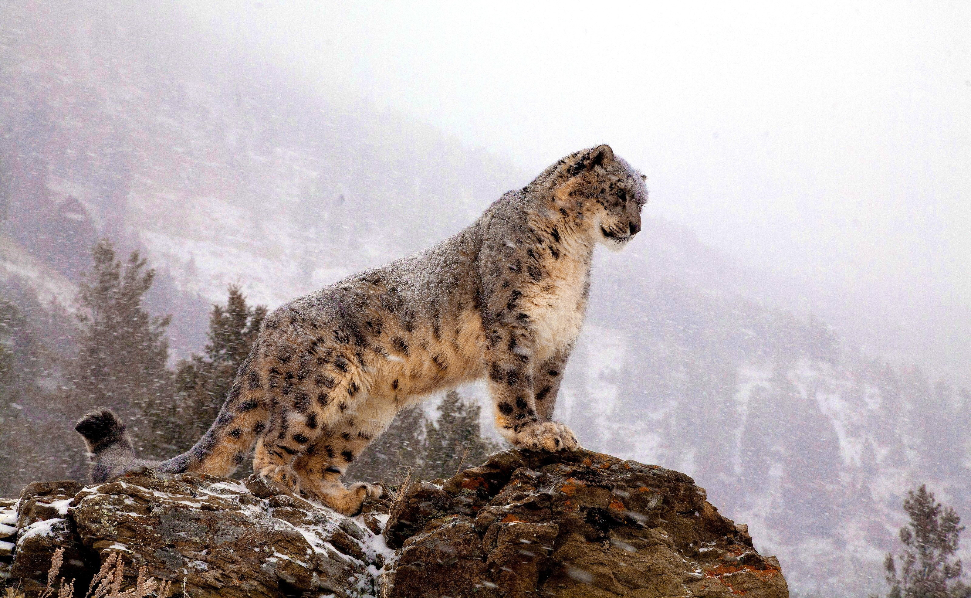 Snow Leopard Tracking in Hemis National Park