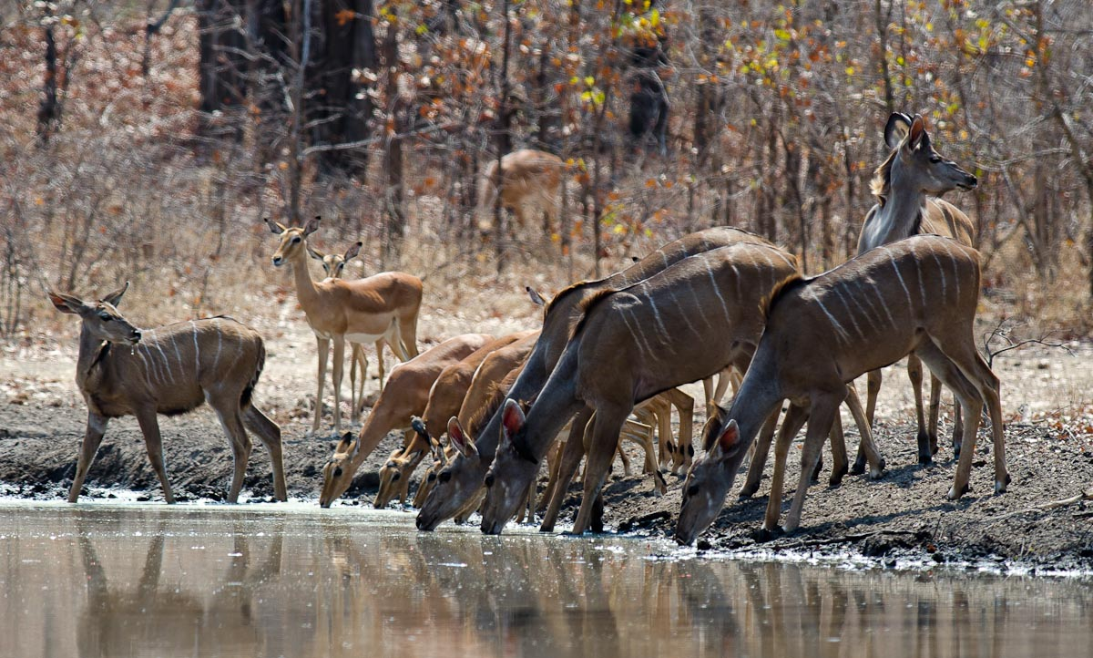 Sipping from a local waterhole, Malwai