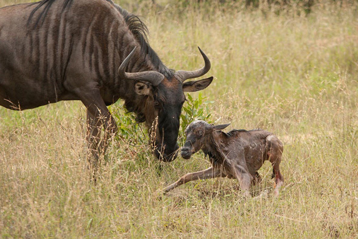 Crooked Compass can organise a mobile camp for you to following the birthing of the Wildebeest during the migration