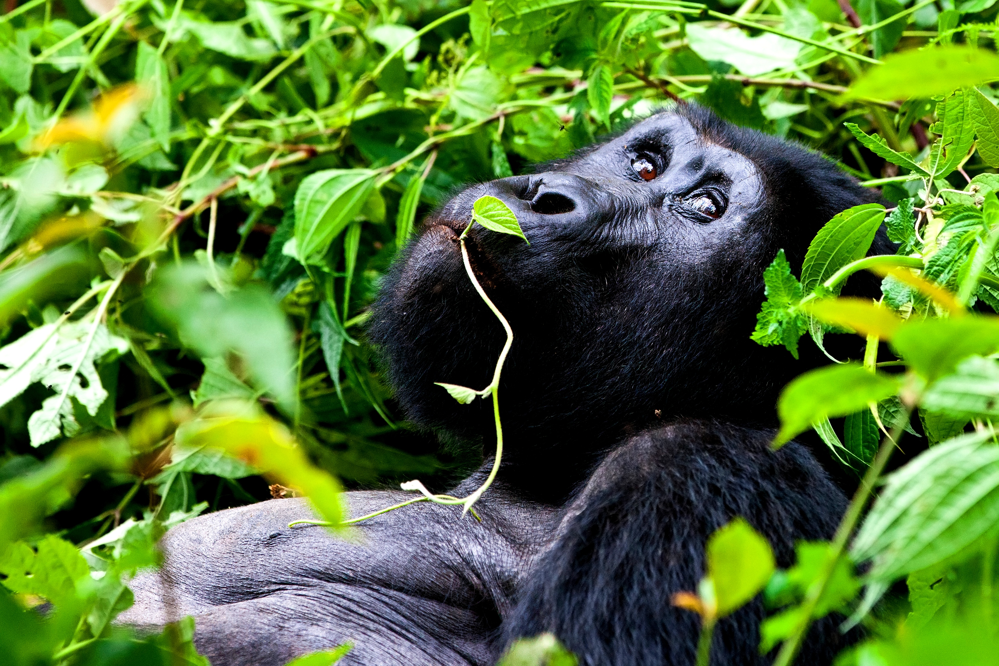Mountain Gorilla Chilaxing