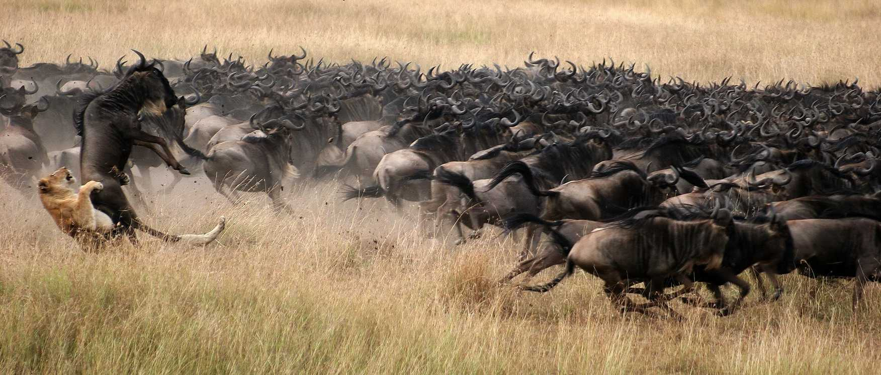 Experience the Great Migration in the Serengeti and the Masai Mara