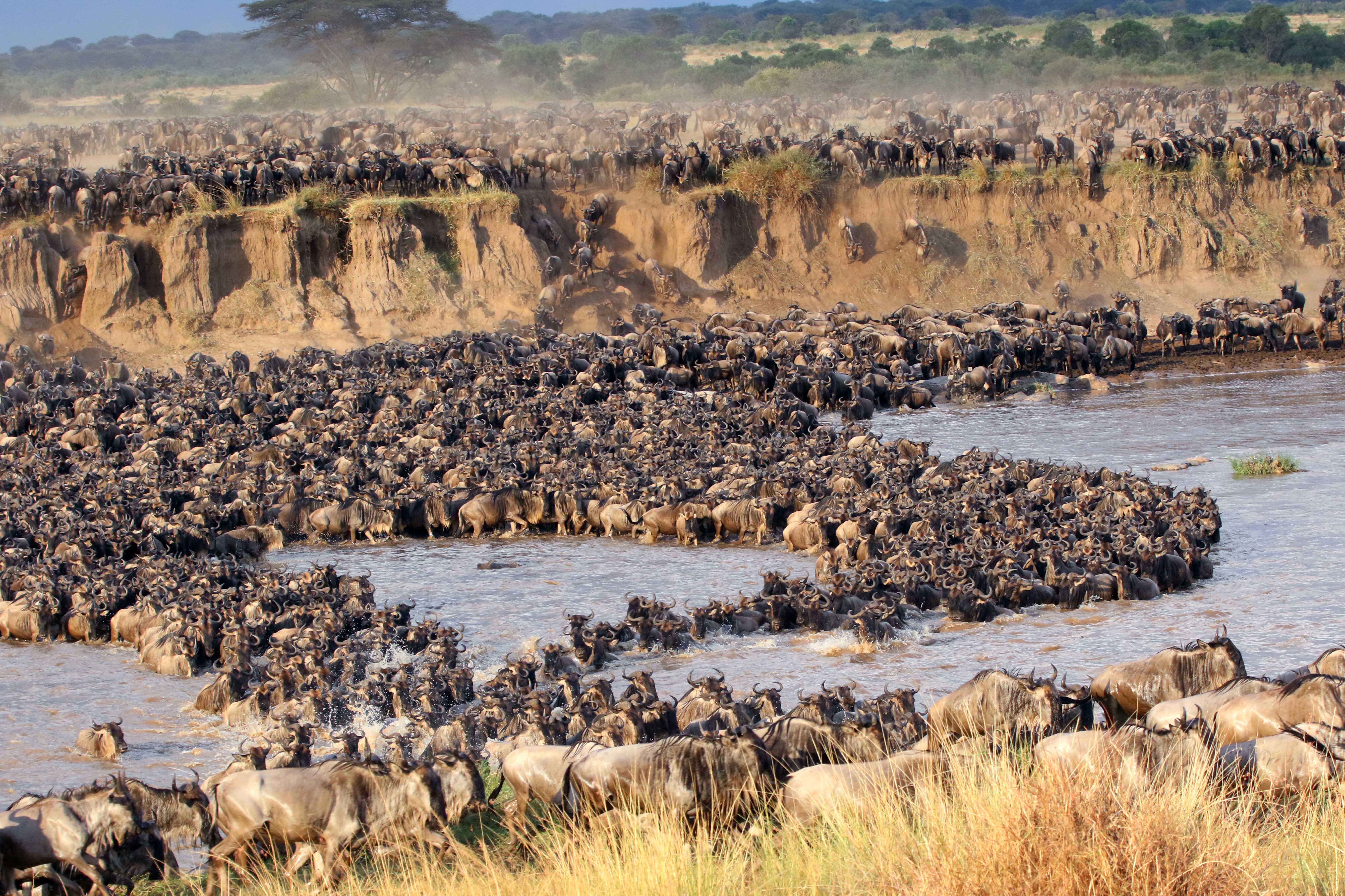 Thousands of wildebeest and zebra cross the river as predators wait patiently