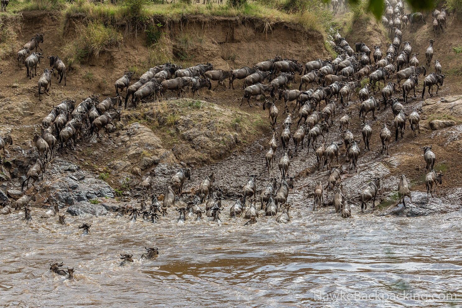 River crossing of the great migration in the Masai Mara, Crooked Compass