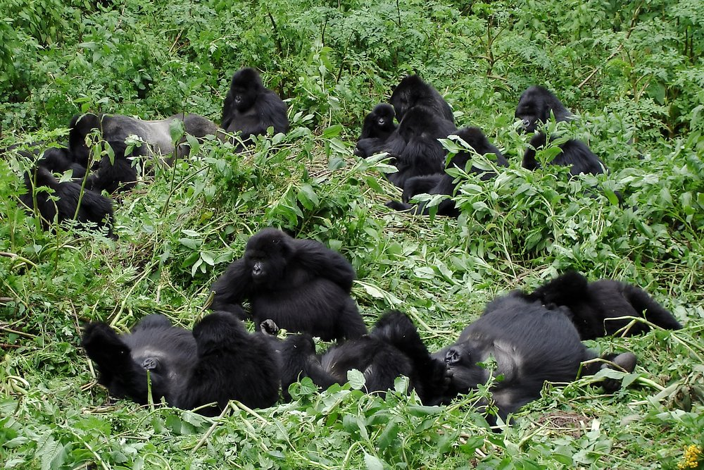 Family of Mountain Gorillas, Rwanda