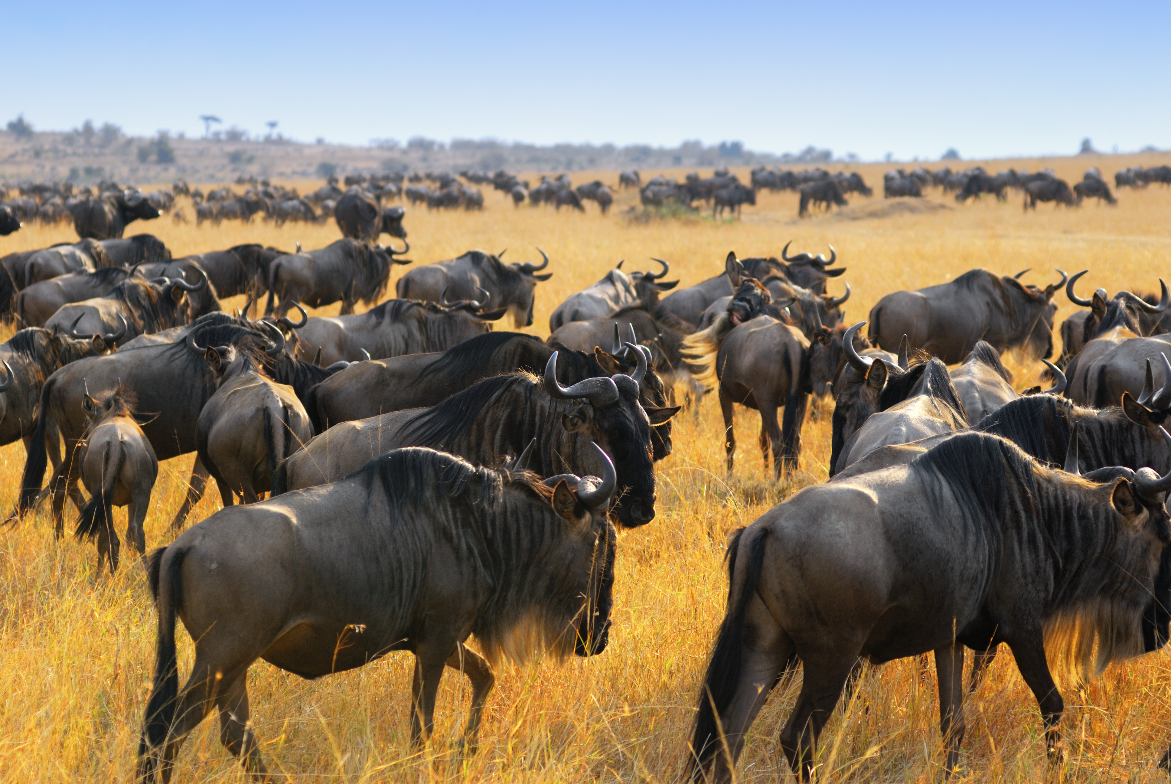 Follow the wildebeest migration with Crooked Compass