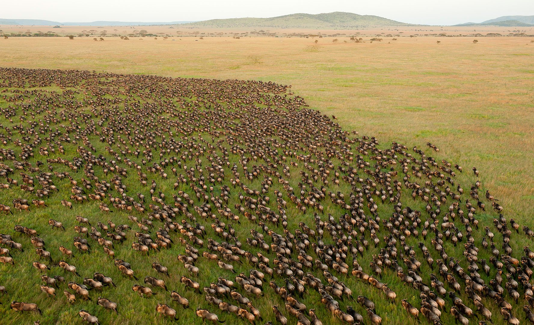 The migration moves on the plains of the Serengeti, Tanzania, Crooked Compass