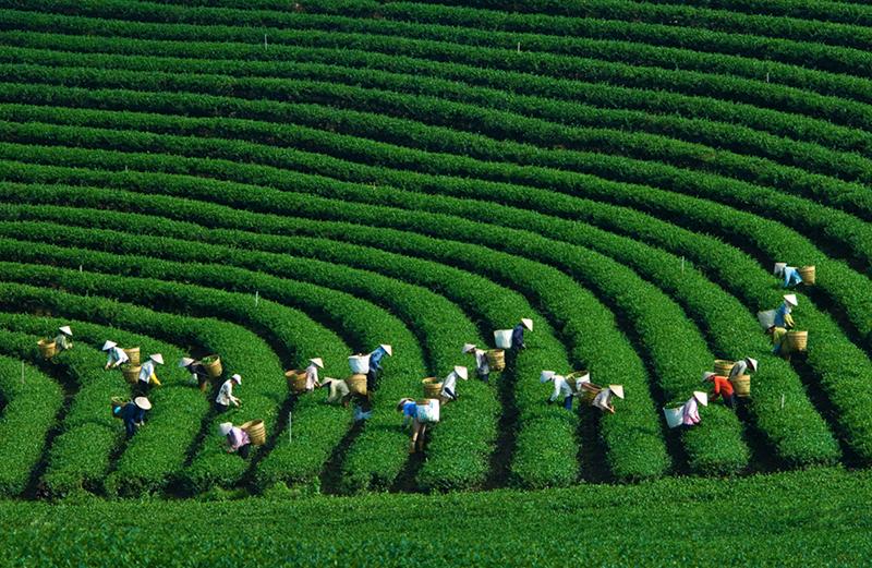 Moc Chau tea farms