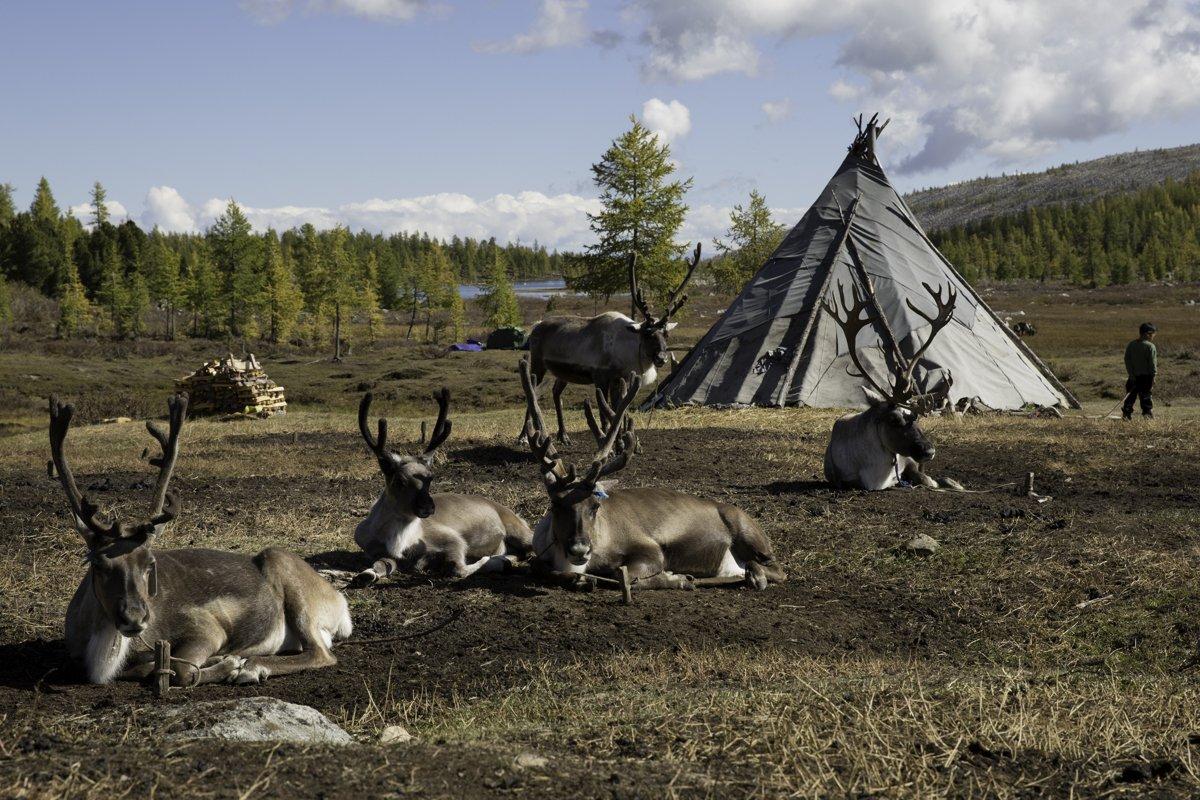 Mongolia Tsaachin reindeer and urt