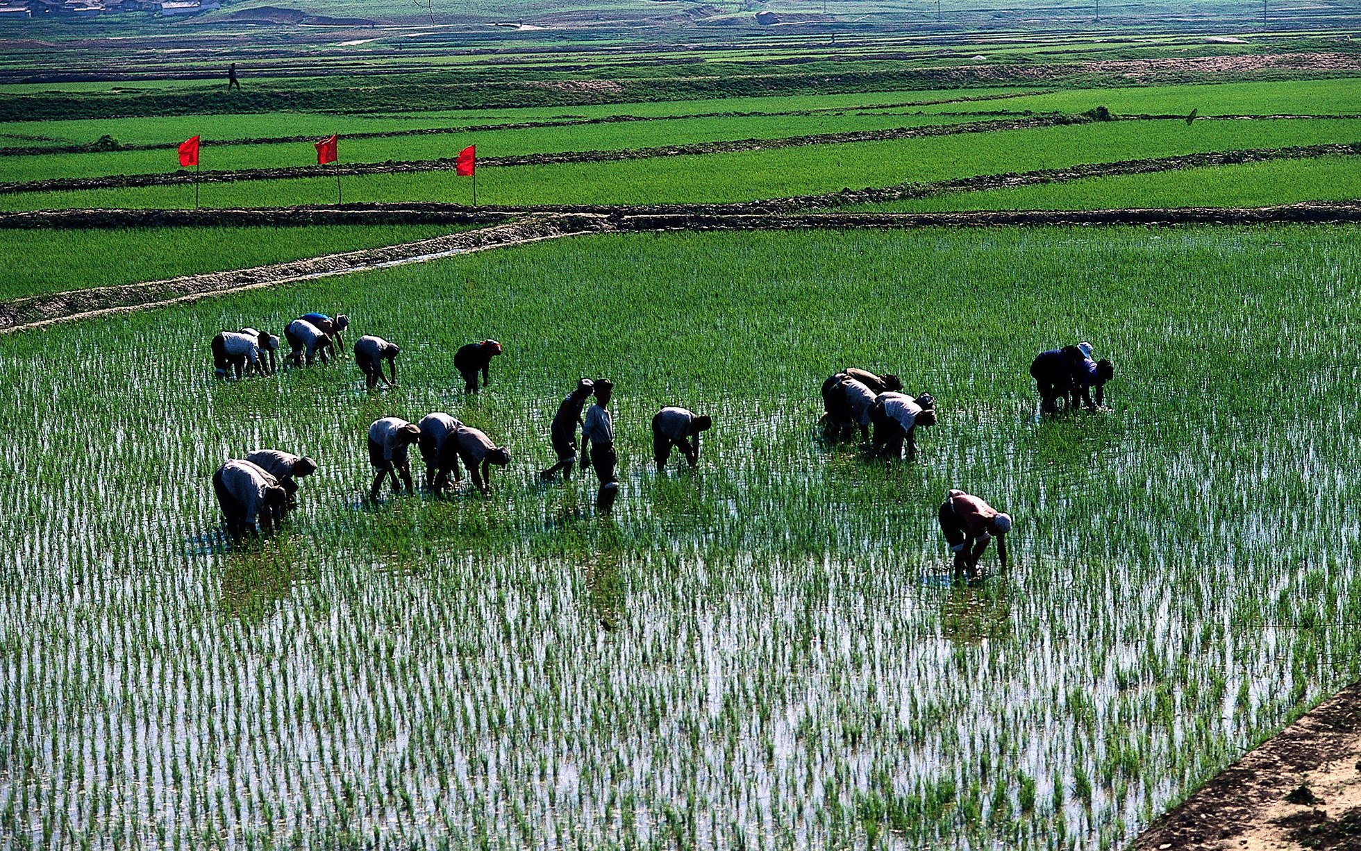 North Korean rice paddies