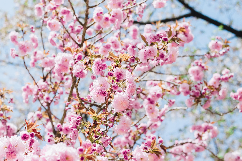 Sakura || Photo Credit: linkjizl