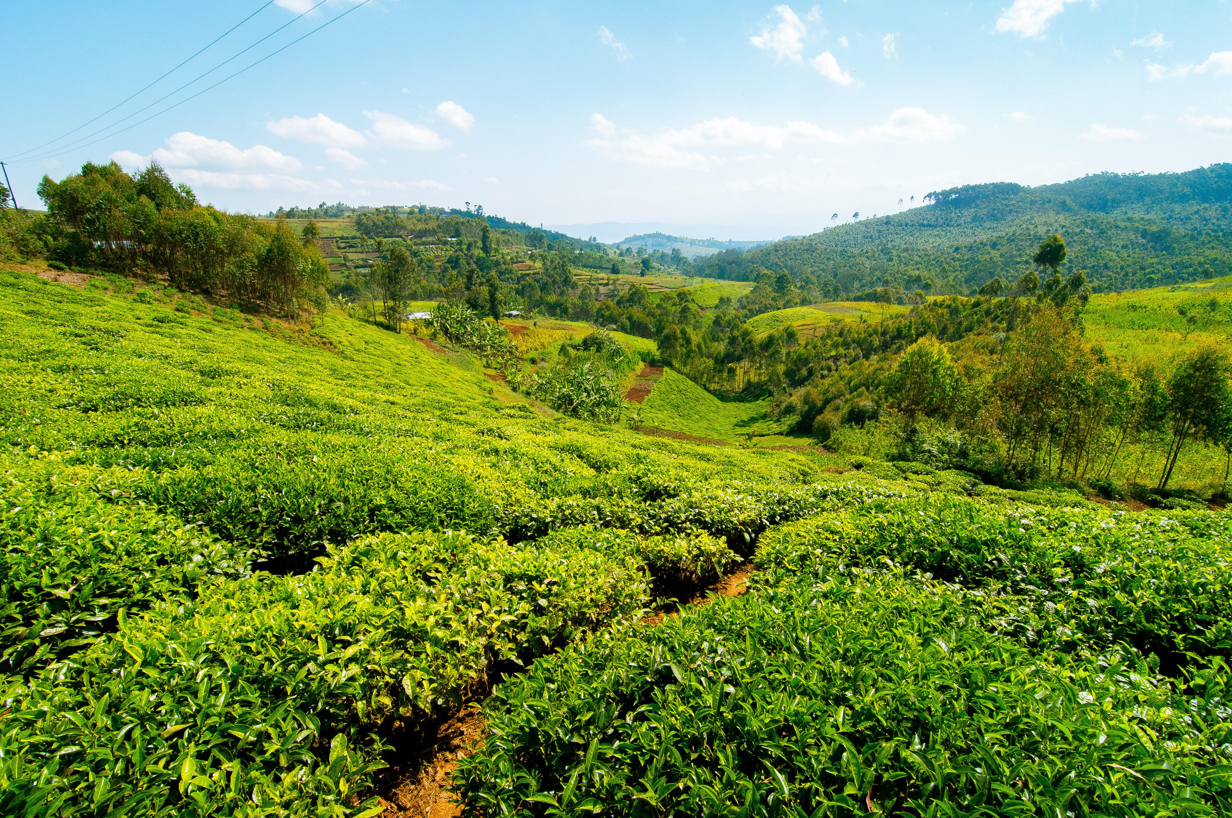 Tea plantations of Rwanda