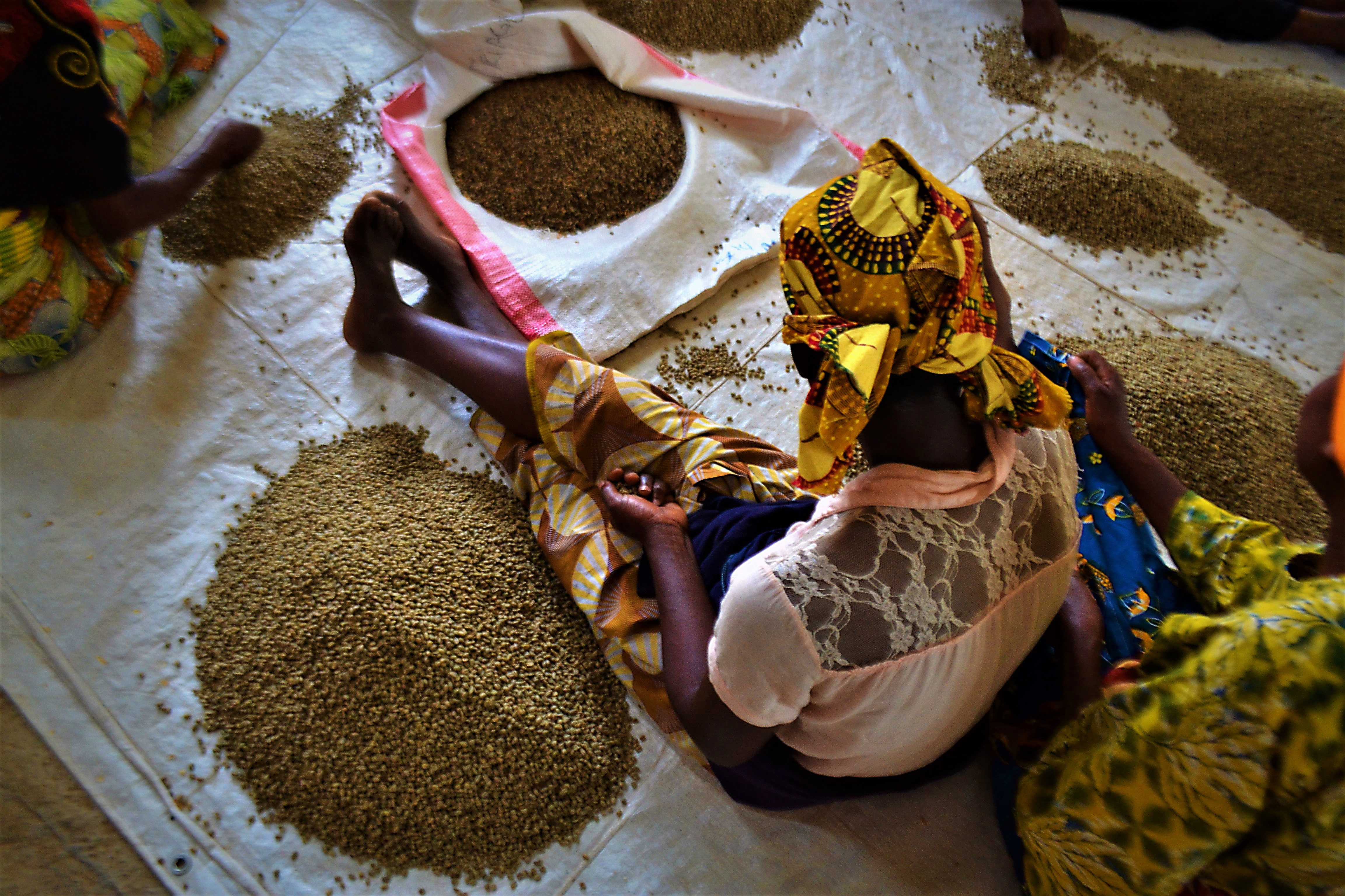 Coffee bean sorting so only the finest beans are used