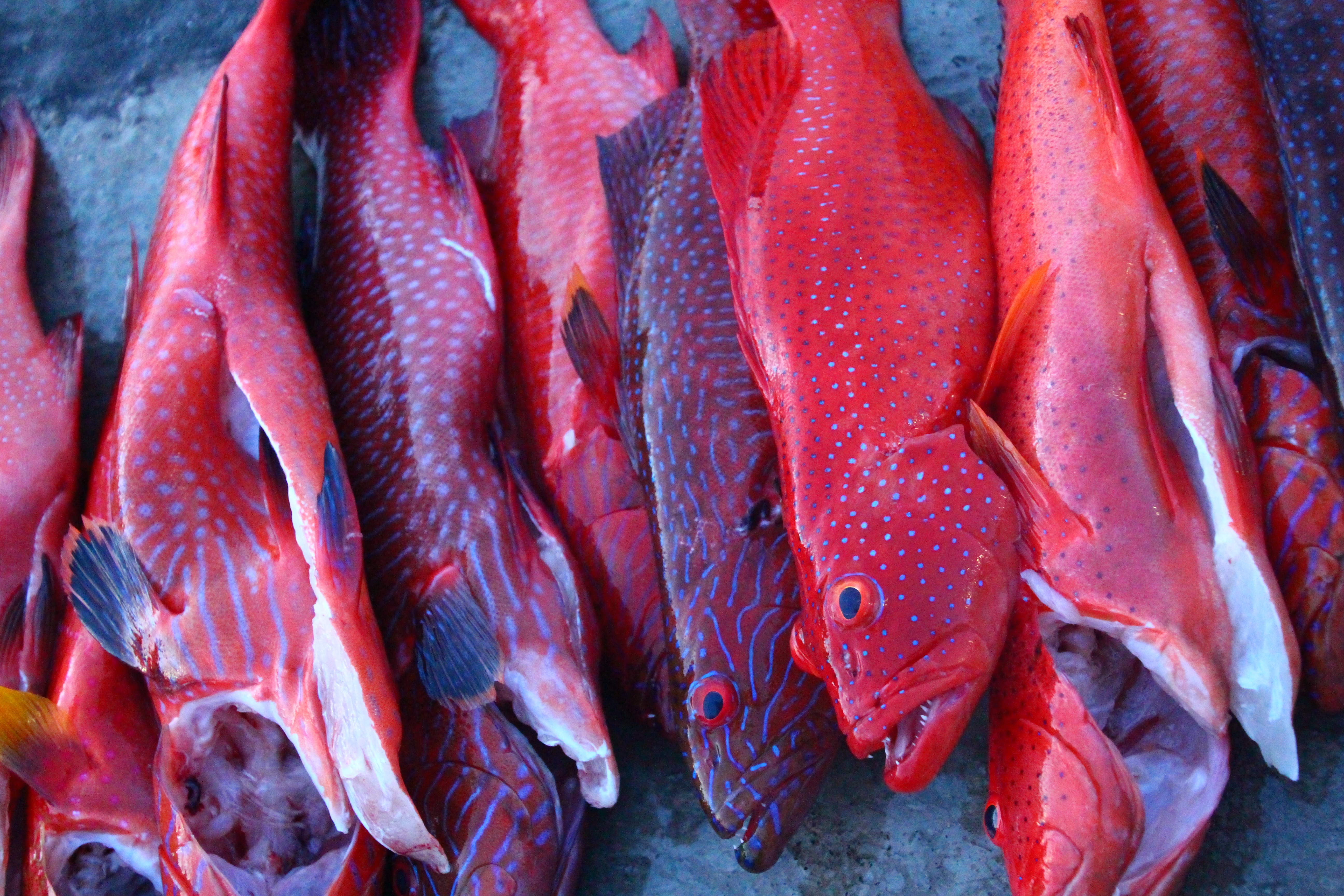 Coral trout caught in the balmy waters of Rabaul