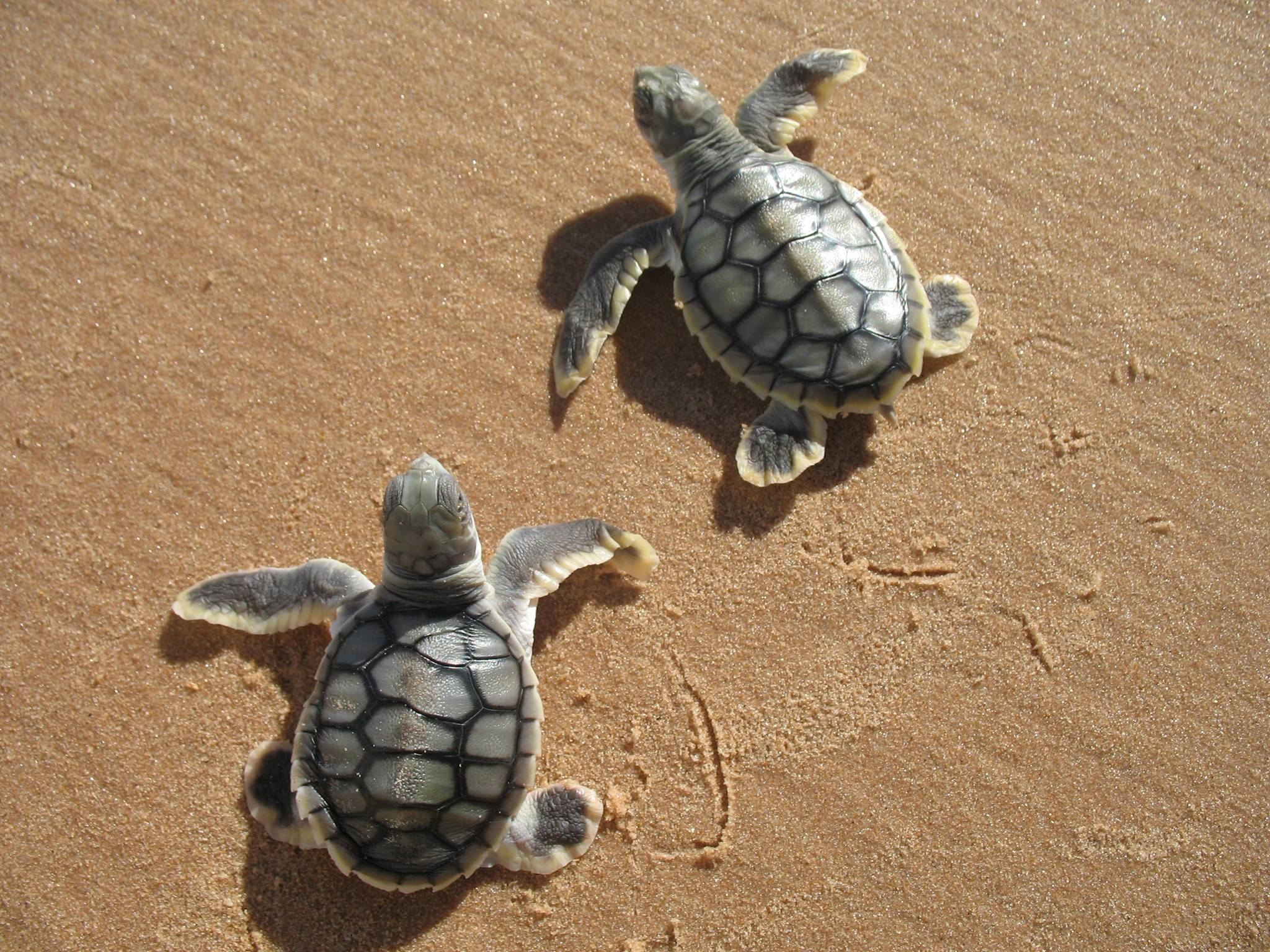 See turtles nesting on the beach - Photo credit: Dept. Parks & Wildlife