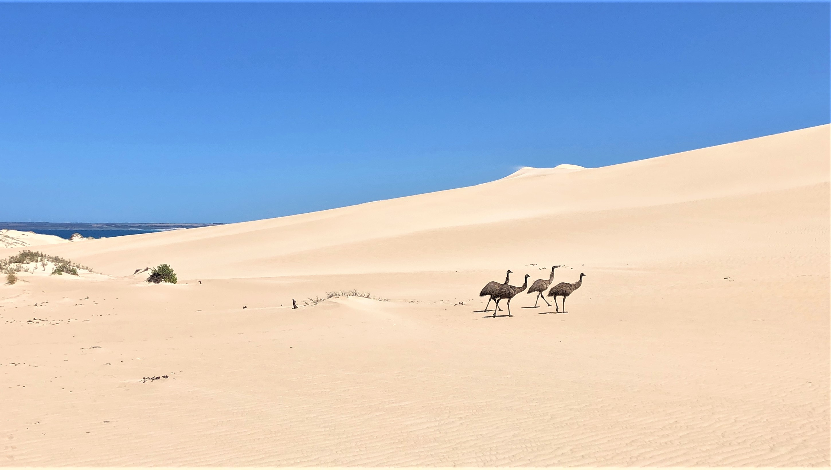 Wild emus stalk their way through the rolling sand dunes - Photo Credit: Crooked Compass