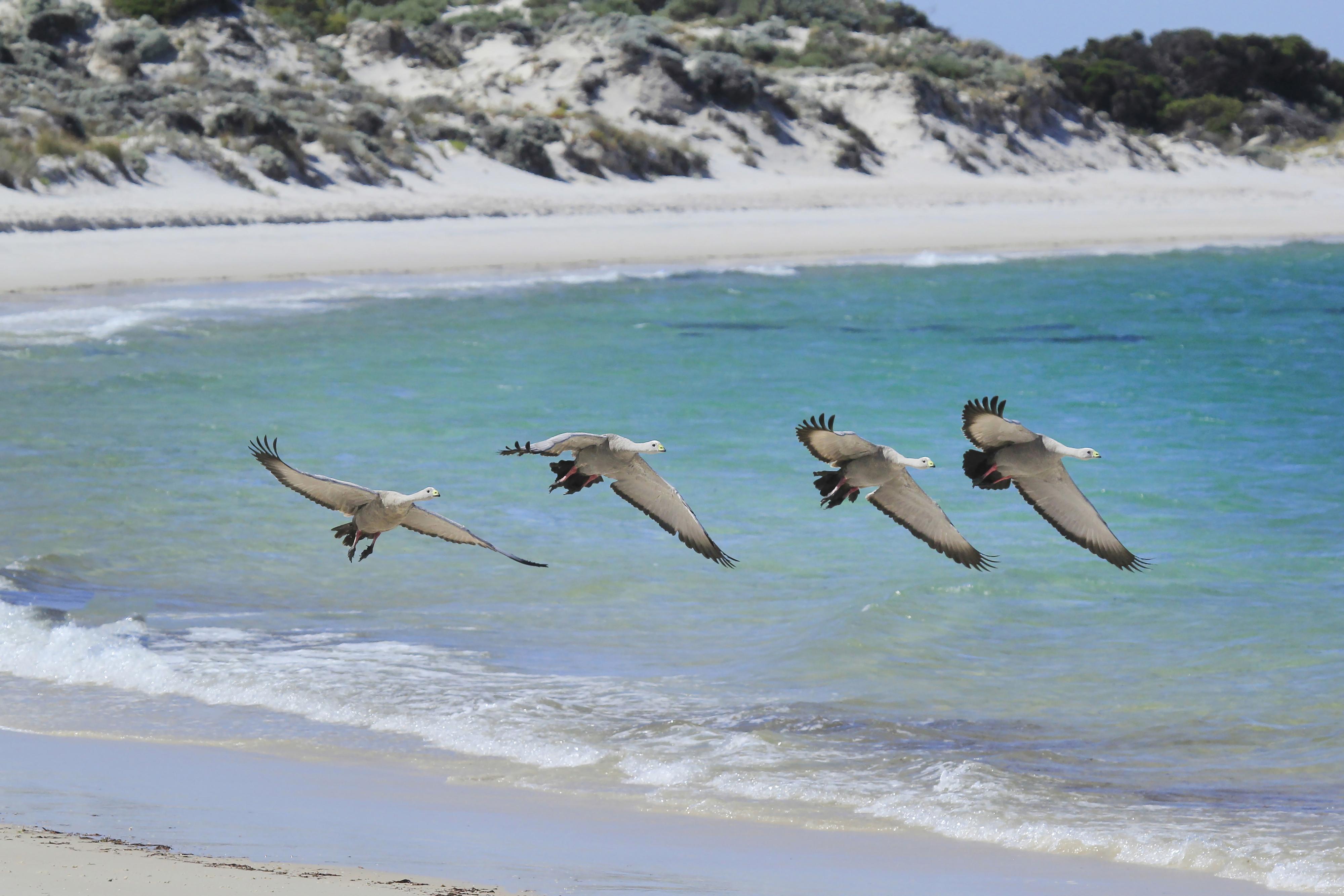 Sea birds of the Eyre Peninsula - Photo Credit: John White