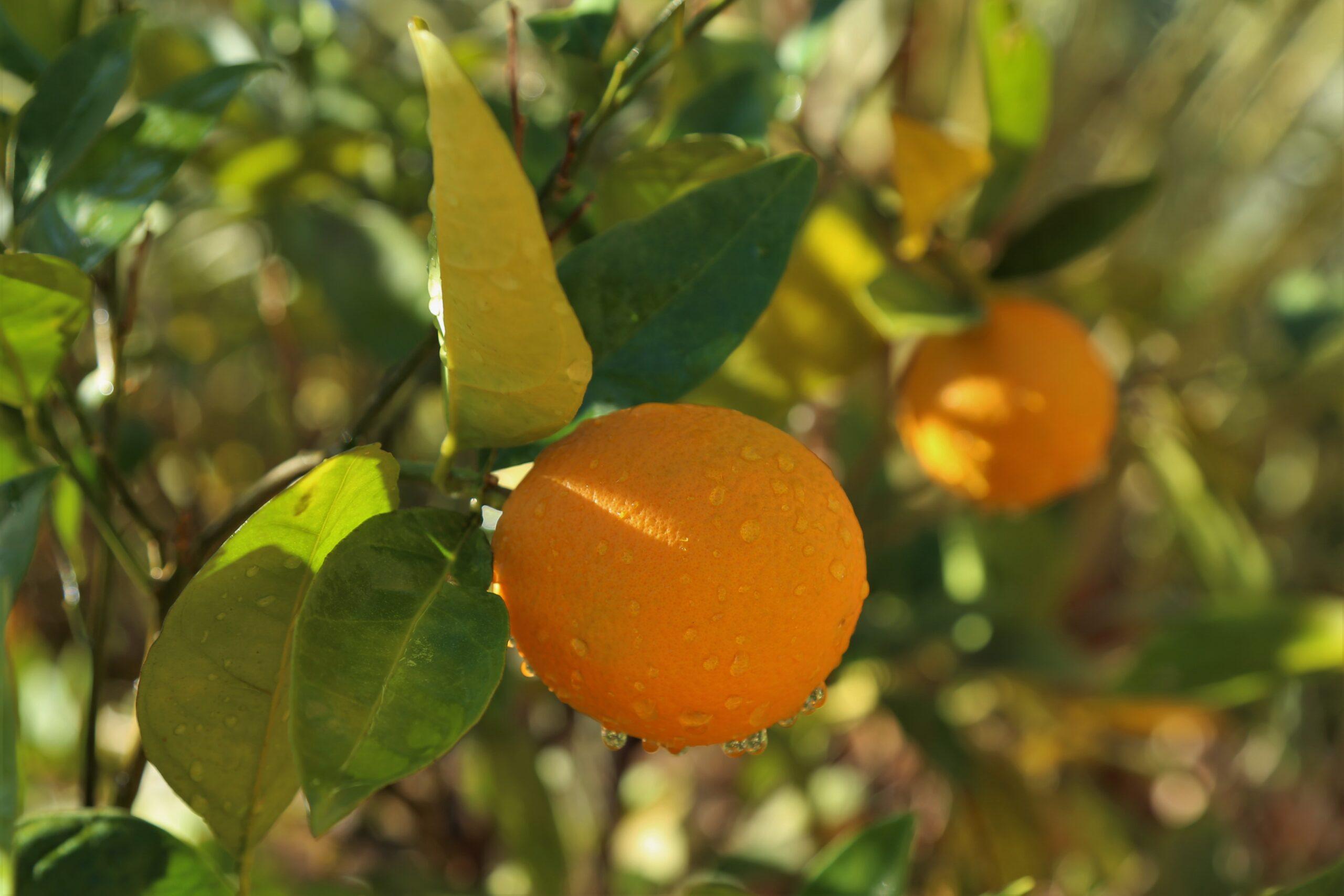 Citrus farms in AlUla